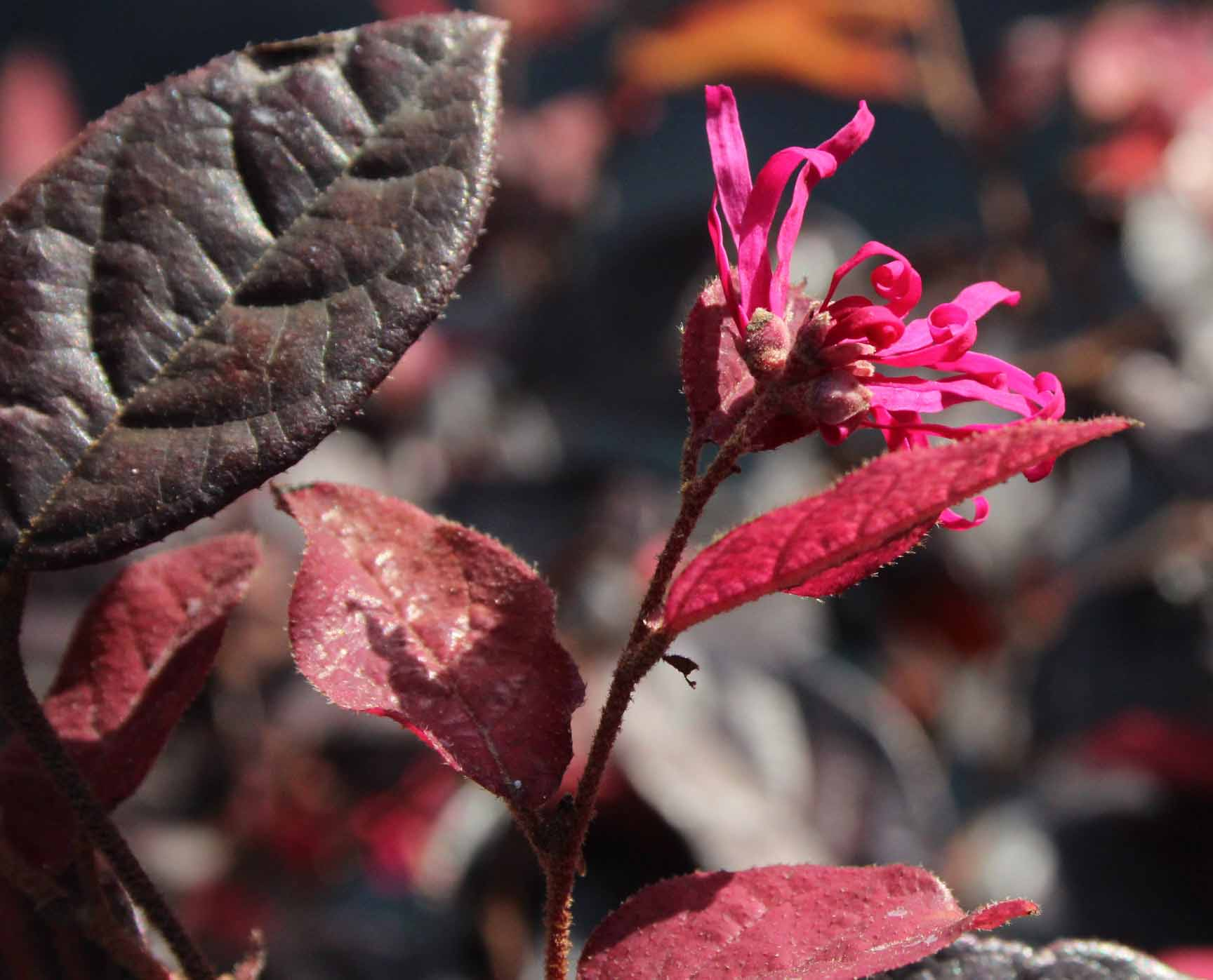 Loropetalum chinense Fire Dance 2
